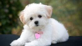 سگ پامرانین خیلی ناز و دوست داشتنی اگه نبینی از دست میدی