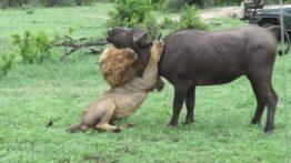 شكار بوفالو توسط شیر درنده