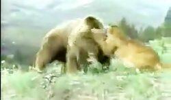 شوخی بچه شیر با بچه خرس جنگ و دعوا ایجاد کرد حتما ببینید و لذت ببرید