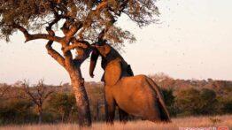 فیلی که تنه ی درخت را درستی قورت داد