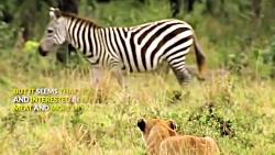 لگد جانانه گورخر به شیر ماده برای نجات گورخر دیگر