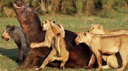 جنگ حیوانات و نبرد تن به تن حیوانات درنده