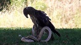 حمله حیوانات وحشی مبارزه خطرناک عقاب و مار