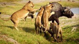 حیات وحش، حمله شیرها برای شکار بوفالو