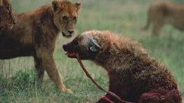 دنیای ترسناک حیوانات وحشی شکار وحشیانه جنگ کفتارها برای قلمرو