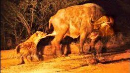 دنیای ترسناک حیوانات وحشی شکار وحشیانه جنگ کفتارها