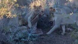 زجرکش کردن بچه زرافه توسط شیرهای نابالغ در آموزش شکار