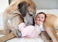 سگ های بزرگ و محافظ بچه ها