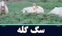 سگ گله فقط ایشون مراقب گوسفند هایش خوب هست