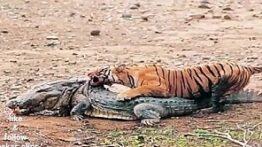 شکار تمساح بالغ توسط ببر بنگال