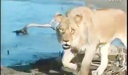 شکار تمساح وحشی توسط شیر