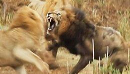 شکار ناموسی حیوانات وحشی و جنگ جو
