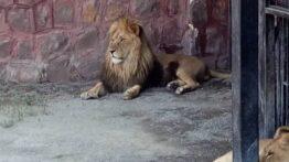شیر ها در خیابان های ایران