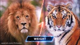 مجموعه مبارزه حیوانات وحشی ببر ، شیر، خرس، تمساح
