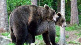 تزاوج الدب