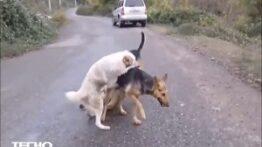 جنگ سگ های وحشی سر جفت گیری