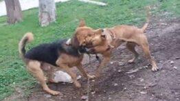 جنگ پیت بول و سگ گرگی