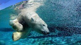 خرس قطبی در اب
