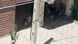دعوای جالب سگ های گله برای جفت گیری با یک سگ ولگرد