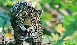 شکار حیوانات توسط پلنگ