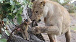 مراقبت و بچه داری ببر توسط میمون