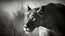 تمرکز حیرت آور یک شیر در لحظه شکار