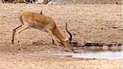 راز بقا – شکار مرگبار شیرها