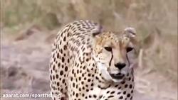 شکار جنگ و جدال پلنگ های تیزدندان با حیوانات حیات وحش افریقا