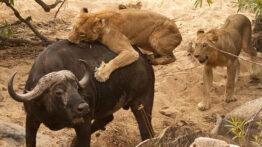 شیر, بوفالو ,حمله حیوانات