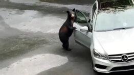 فراری دادن خرس با جیغ! حمله حیوانات به انسان