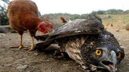 جنگ عقاب و مرغ