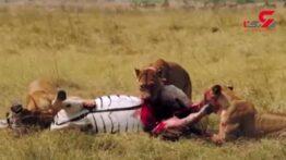 3 شیر وحشی اول شکارشان را خوردند و بعد آن را کشتند !