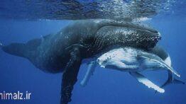 جفت گیری ماهی ها نهنگ ها و حیوانات دریایی