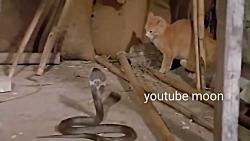 جنگ حیرت انگیز گربه ها با مار سمی