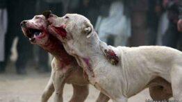 جنگ حیوانات، جنگ سگ ، سگ