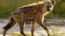 جنگ حیوانات با کفتار و مرگ حیوانات وحشی