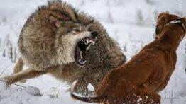 جنگ وحشتناک سگ های سرابی