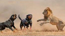 جنگ وحشیانه هیونا با شیر – نبرد حیوانات