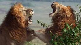 حیات وحش، خونین ترین جنگ شیرها با حیوانات