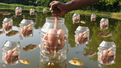سبک منحصر به فرد ماهیگیری با مرغ تله ماهی زیبا