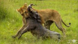 لحظاتی ترسناک از شکار شیر ها