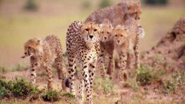 مستند حیوانات حیات وحش یوزپلنگ ها