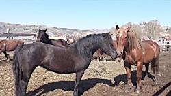 نبرد اسب های وحشی نبرد حیوانات