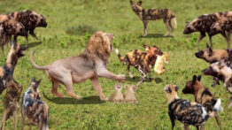 نبرد بین شیر و 20 سگ وحشی حیات وحش