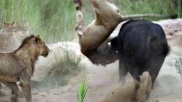 نبرد حیوانات 3 بوفالو در مقابل 100 شیر!
