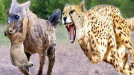 نبرد پلنگ و کفتار جنگ پلنگ با کفتار نبرد خونین حیوانات