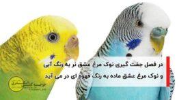 نشانه های جفت شدن مرغ عشق