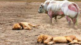 برخورد بوفالو … با حیوان های وحشی شیر و یوزپلنگ