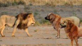 جنگ حیوانات وحشی سگ ها و شیر ها