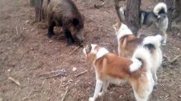 جنگ سگ های وحشی با گراز دیدنی و جالب